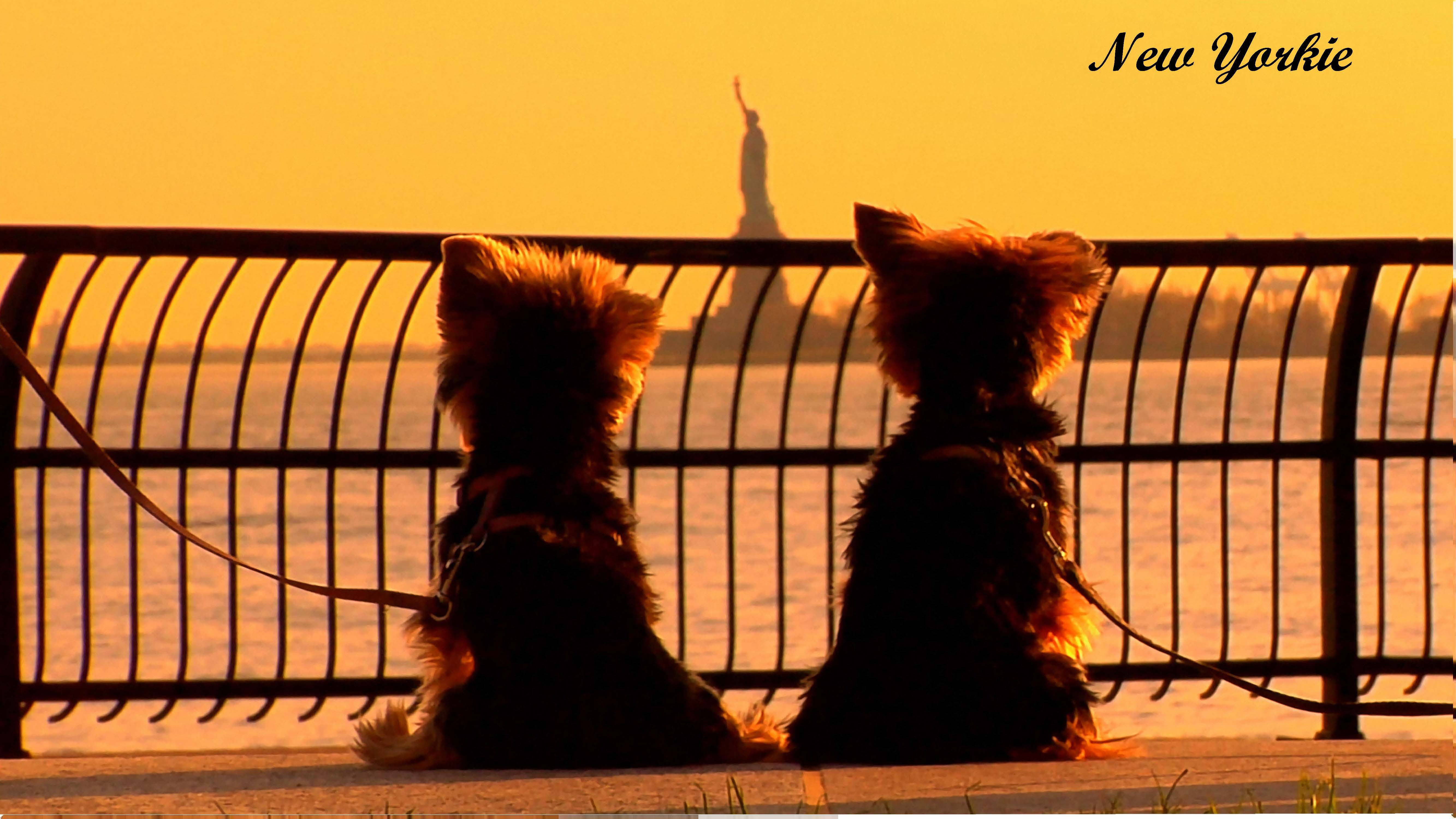 New Yorkie Poster